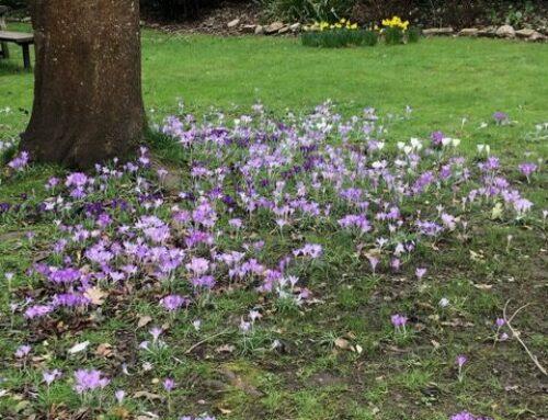 Planting Crocus Flowers for Purple Pinkies